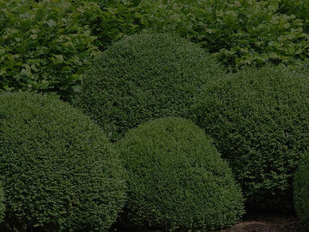 Washington, DC Shrubs and Hedges